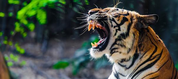 2020-spring-tiger
